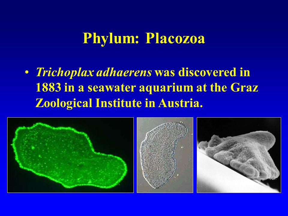 Resultado de imagen para Placozoa