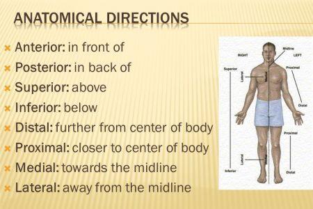 interior inferior superior distal proximal » Electronic Wallpaper ...