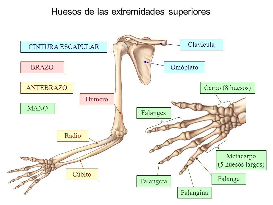 SISTEMA OSEO | Universidad del tolima sistema osteomuscular