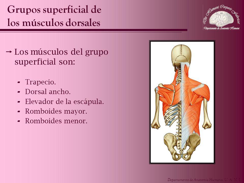 2.3 grupo superficial e intermedio de los musculos dorsales. | E ...