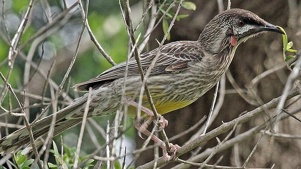 The wattle bird gets its name from the fleshy red growths hanging from its cheeks.