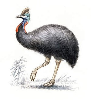 Southern cassowary. (Illustration by Joe Benke.)
