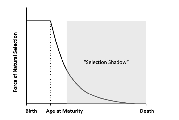 The force of selection as a function of age.Nature Education Fabian and Flatt 2011