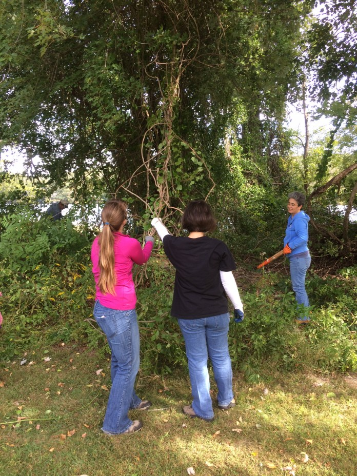 Volunteers remove an invasive plant species from a tree at the Haddam Meadows State Park cleanup on Saturday, Sept. 26, 2015. (Courtesy/Kate Anderson)
