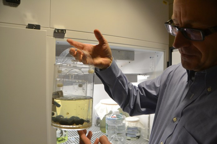 Joerg Graf shows the lab's leeches, whose bacterial genomes are studied for disease protection, at the University of Connecticut on Wednesday, Oct.21, 2015. (Bailey Wright/The Daily Campus)