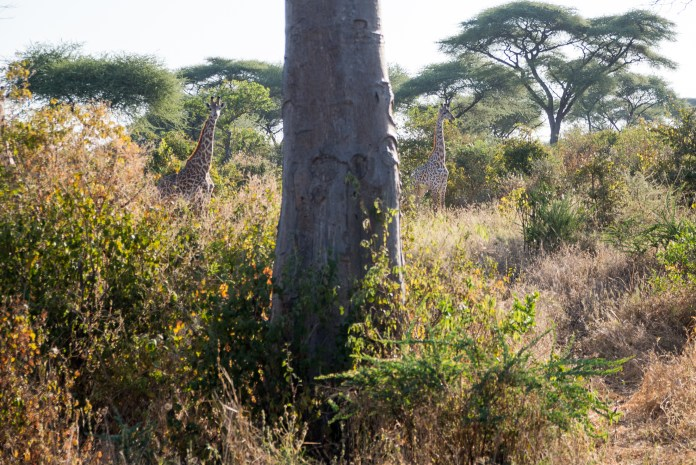A small tower of giraffes watches as the safari caravan passes by on Sunday, June 12, 2016 justoutside of Ruaha National Park. (Amar Batra/Daily Campus)