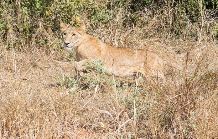 A lioness jumps into the underbrush in order to avoid being seen by the safari group. Lions areone of many predatory species that live in Ruaha National Park. (Amar Batra/Daily Campus)