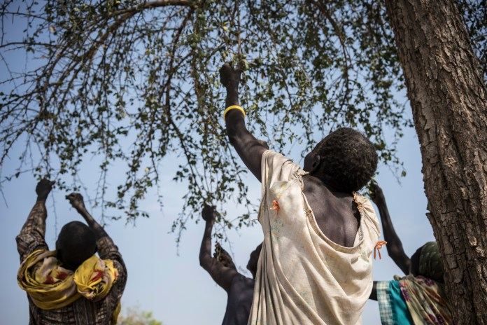 In this photo taken Friday, March 10, 2017, women pick leaves from a tree that they will later cook for dinner in the small village of Apada, near Aweil, in South Sudan. The world's largest humanitarian crisis in 70 years has been declared in three African countries on the brink of famine. (Mackenzie Knowles-Coursin/AP)