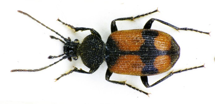 Researchers showed that beetles supply both the missing ingredients and muscle power to complete the pathway leading from the Nardonella's production of tyrosine to the beetle's acquisition of a nearly impenetrable exoskeleton. (Siga/Wikimedia Creative Commons)