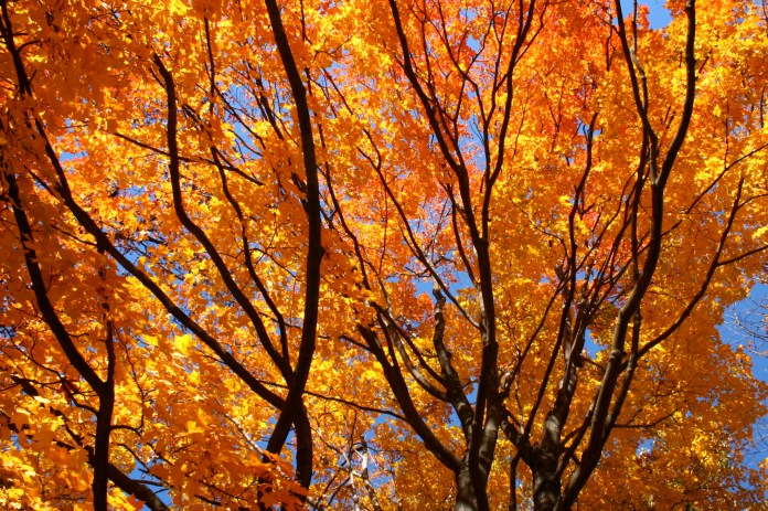 Due to a humid summer and a mild fall, Connecticut trees are now being affected during leaf peeping season. (Dustin Phillips/ dustinphillips /Creative Commons)