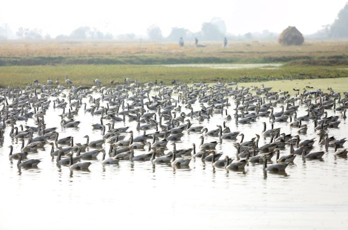 Bar-headed Geese flock at Gharana wetland, about 35 kilometers (21.8 miles) from Jammu, India, Wednesday, Nov. 28, 2018. The wetland is home to many species of migratory birds that come here during the winter months. (AP Photo / Channi Anand)