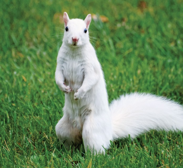 Usually a stark-white squirrel is easy prey for hawks and other predators to snatch up and devour, as they lose their natural camouflage (Merrimack Valley Magazine)