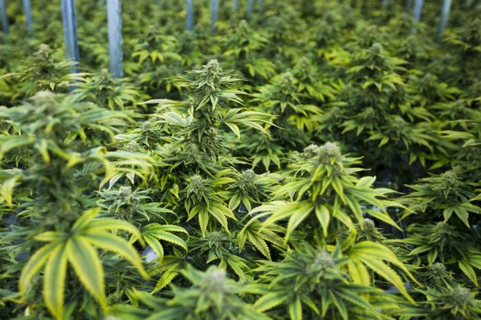 """Marijuana plants in the """"Flowering Room"""" at the Canopy Growth Corporation in Smiths Falls, Ontario. (Jesse Costa/WBUR)"""