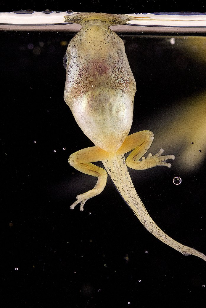 UConn researchers Kurt Schwenk and Jackson Phillips have been looking into 'bubble-sucking' tadpoles. They are now researching why and how tadpoles use this action as means of survival.  Photo courtesy of Kurt Schwenk