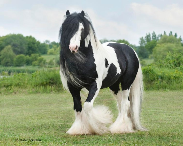 black and white Gypsy Horse in the farm