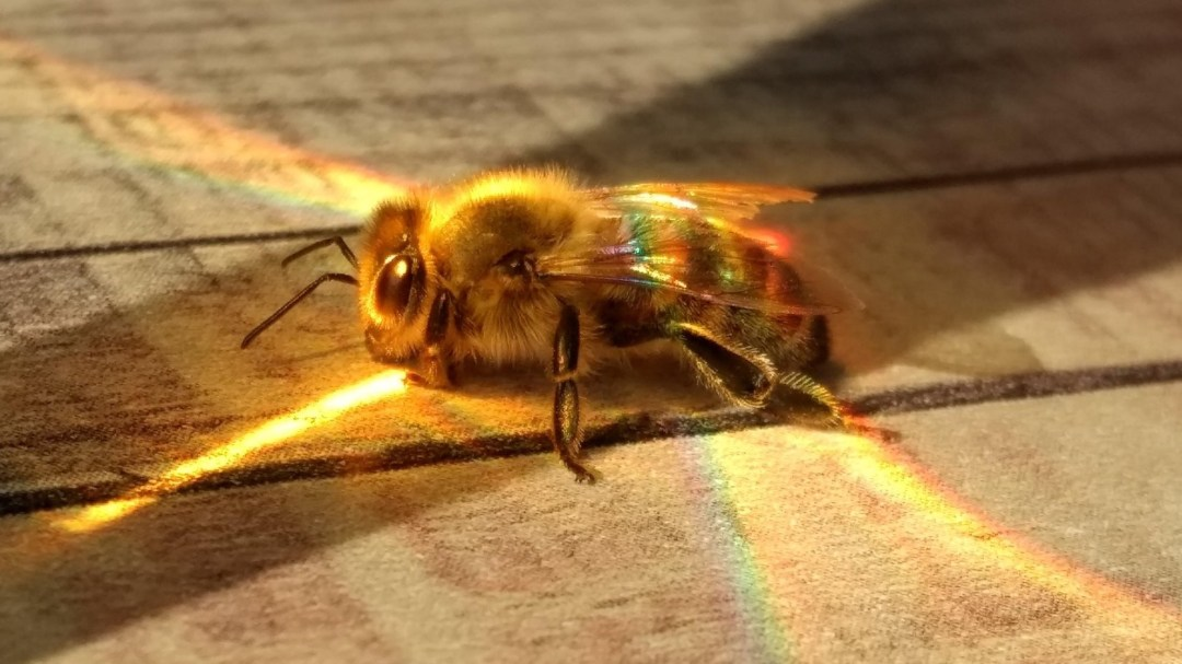 Apis mellifera, European Honeybee (Photo: reddit.com)