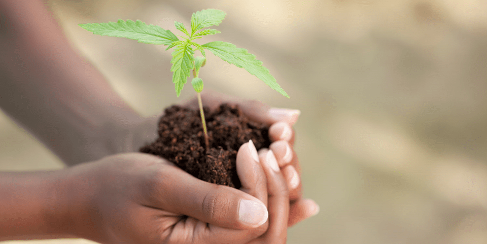 Image of hands holding a hemp plant