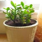 Repotting Plants Jade Plant Dottie Bowles