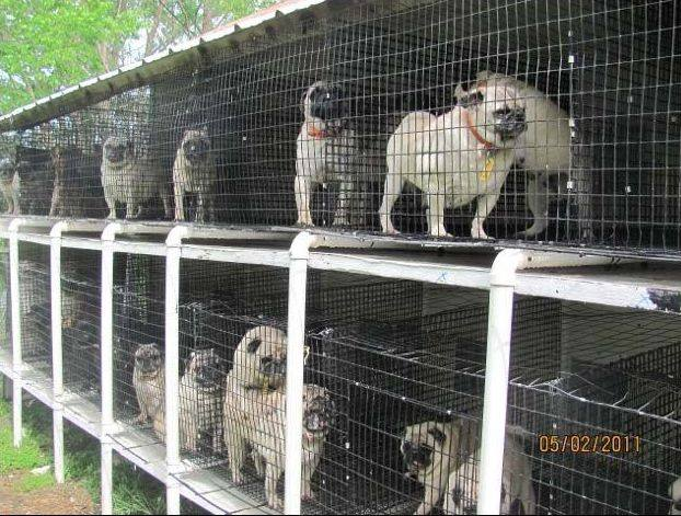 About Reputable Breeders, Backyard Breeders, Puppy Mills/Commercial Pet  Stores