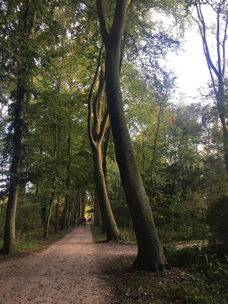Beeches in the Hoge bos, Amelisweerd