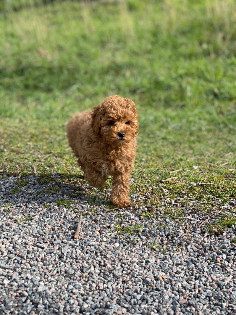 Hunde-Baby Rio ist das neueste Familienmitglied der schwedischen Königsfamilie.  © Kronprinzessin Victoria