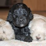 Cockapoo Current Planned Litters Mill Creek Family Farms