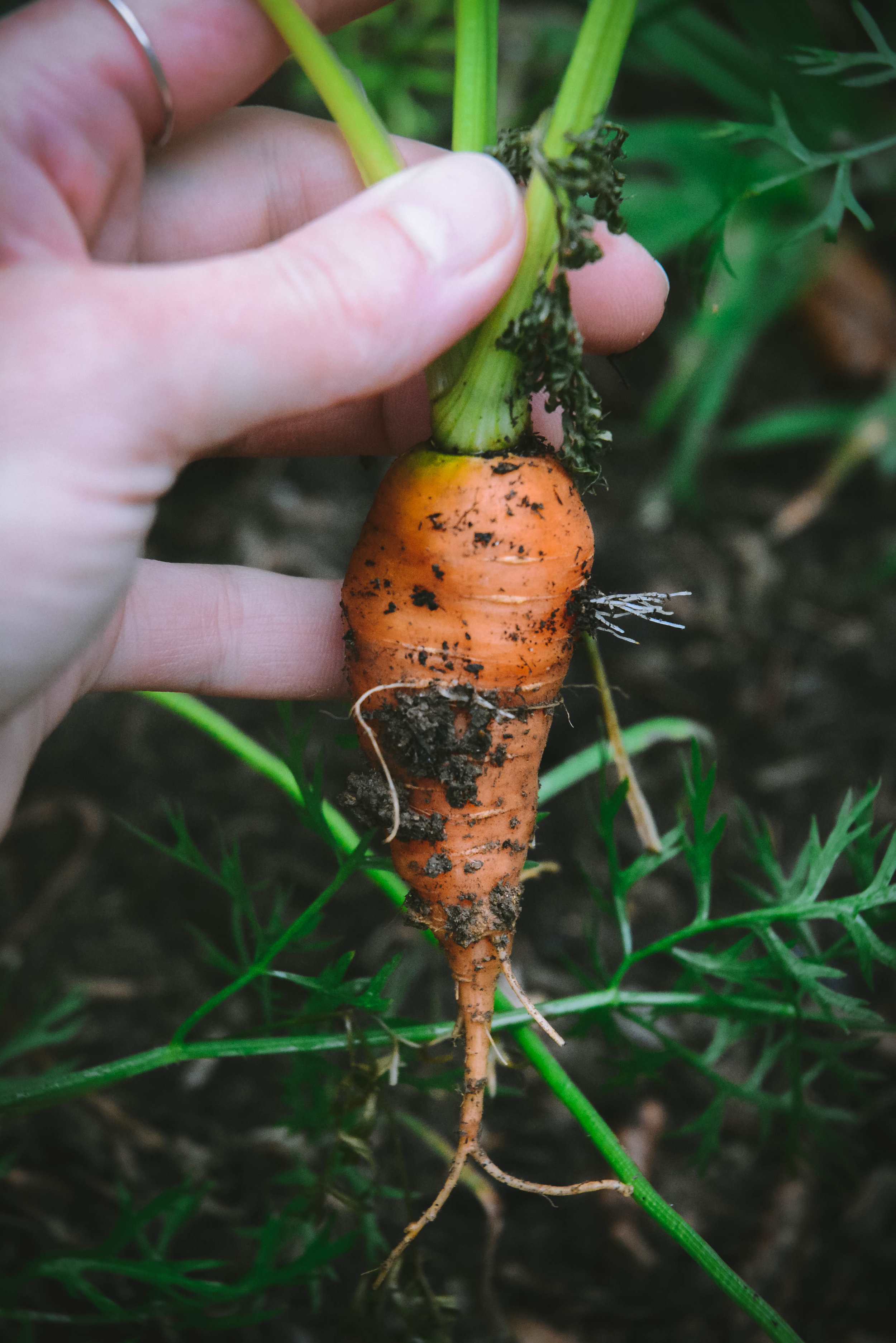 Carrots out of the ground