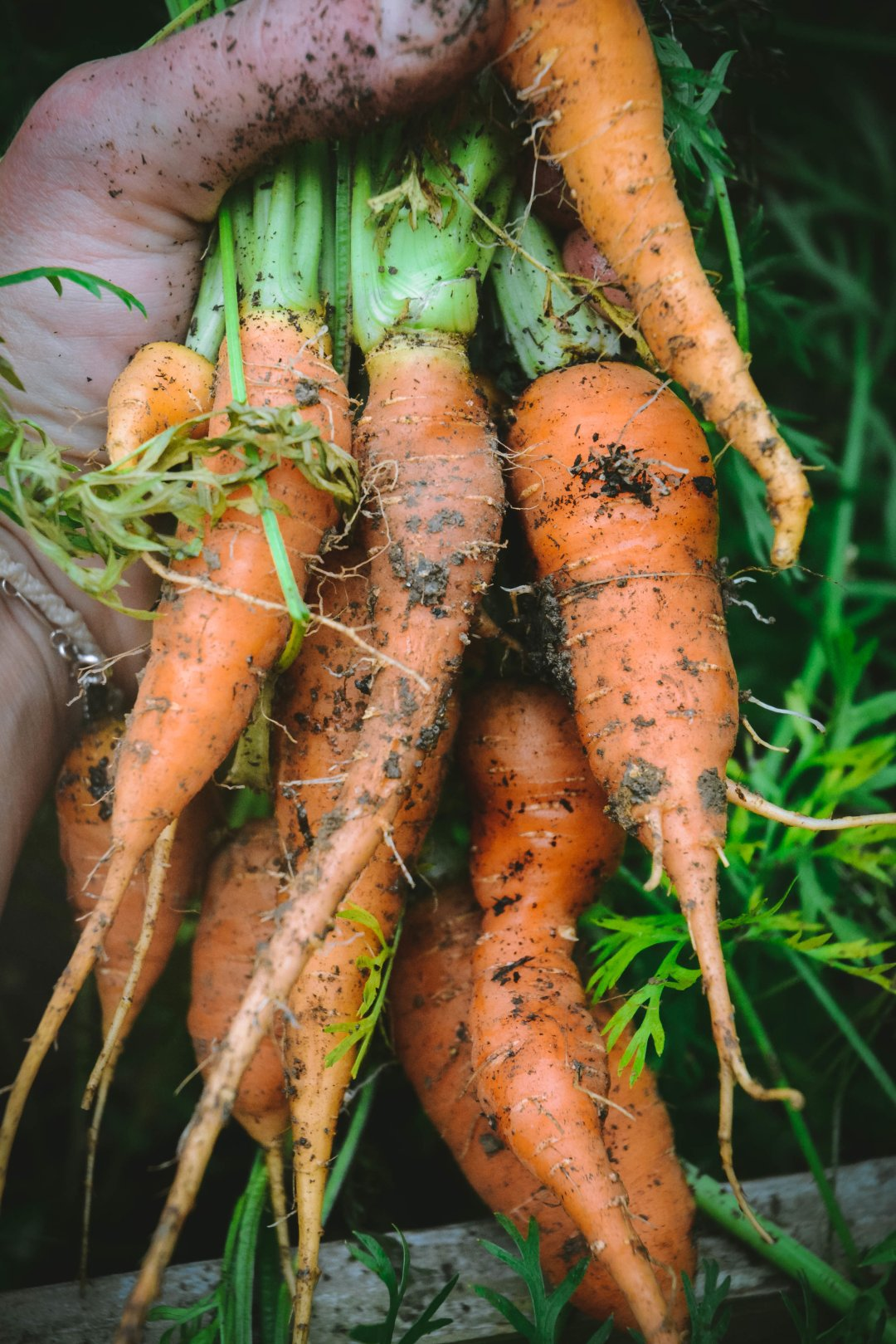 Carrots from ground with dirt in hand