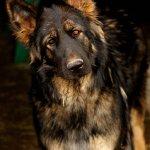 King Shepherds Balto Farms Llc