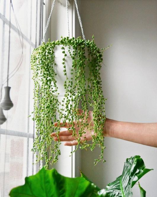 Como cultivar a planta colar-de-pérolas