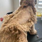 Goldendoodle Teddy Bear Haircut Grooming Tips Matthews Legacy Farm