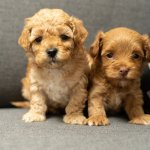 Maltipoo Puppies For Sale With 10 Year Health Guarantee My Doodle Maltipoos