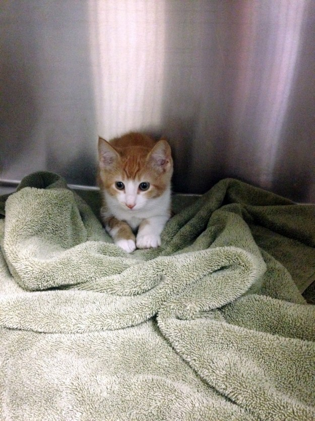 A scared little orange and white kitten that eventually calmed down