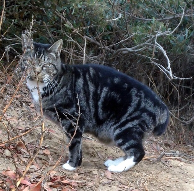 A beautiful manx cat from the bluff colony