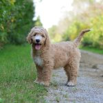Trained English Goldendoodle Puppies Available Doodle Creek