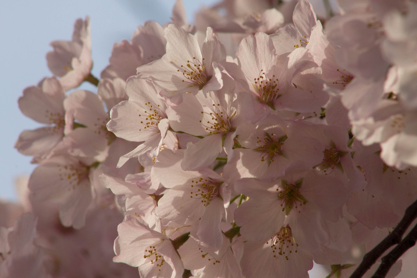 2014-04-13_Cherry_Blossons_and_Evening_Downtown-20140413-IMG_8664.jpg