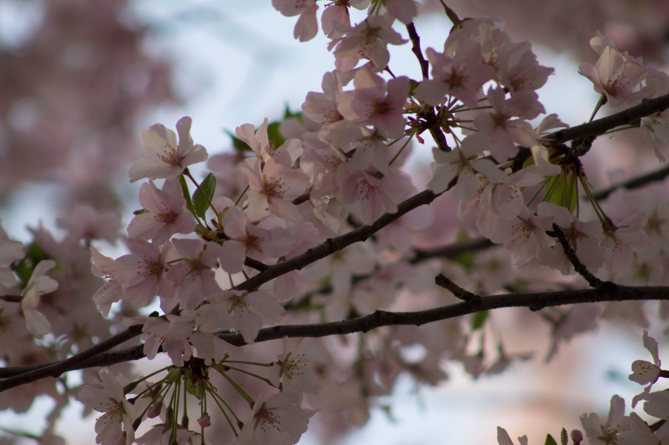 2014-04-13_Cherry_Blossons_and_Evening_Downtown-20140413-IMG_8599.jpg