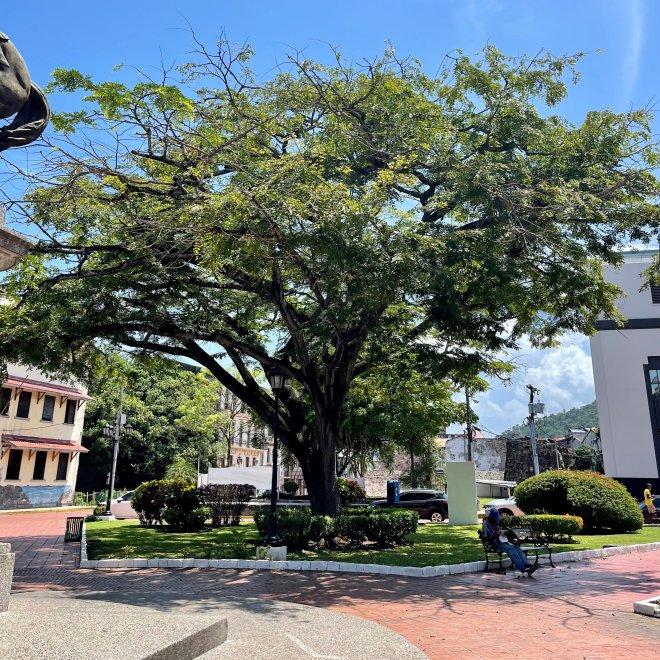Árbol Belisario Porras en Plaza Herrera, Casco Viejo.