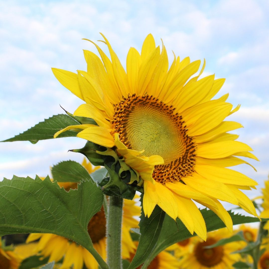 Beautiful Sunflower WhatsApp Dp Image full HD free download.