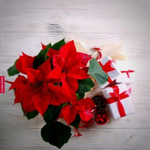 Christmas Flower Images full HD free download.