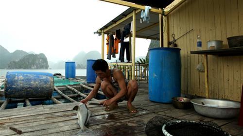 Làm cá trên bè - Ảnh: Thủy Trần