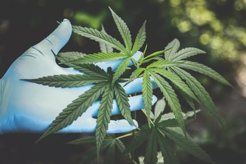 Higher Yields Cannabis Consulting A Beginner's Guide to the Cannabis Industry