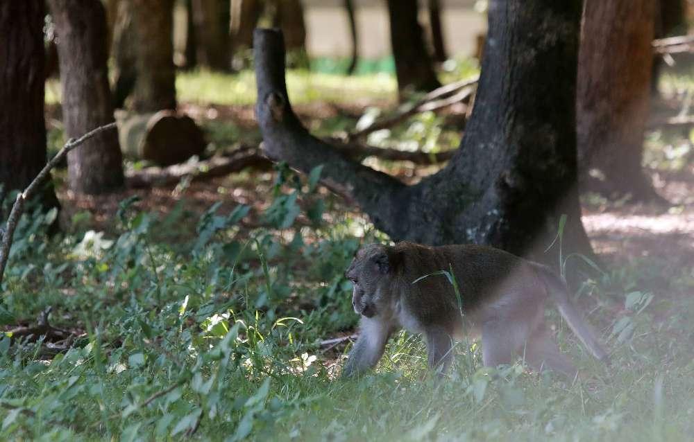 L'un des deux macaques survivants de l'abatage à la pinède des singes.