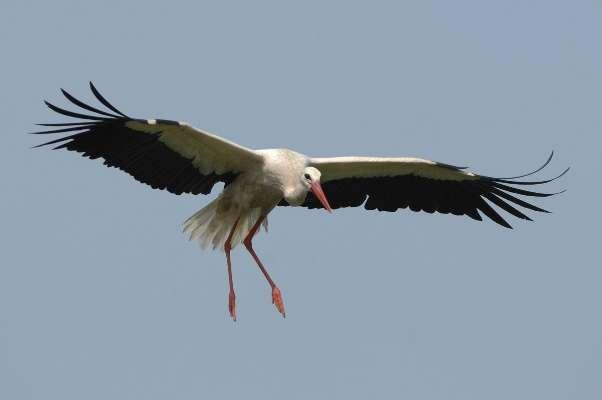 Charente-Maritime : une cigogne, espèce protégée, tuée en plein vol