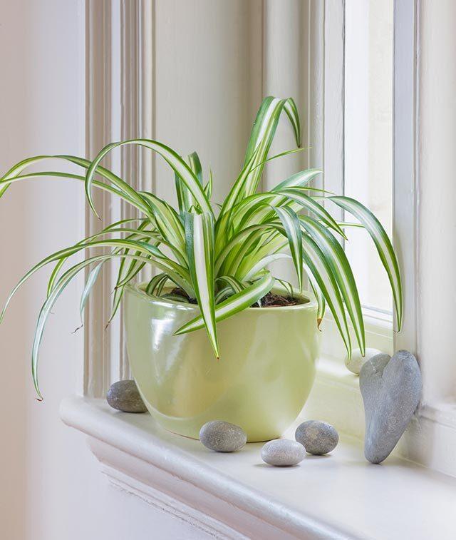 4 spider plant 1595236890