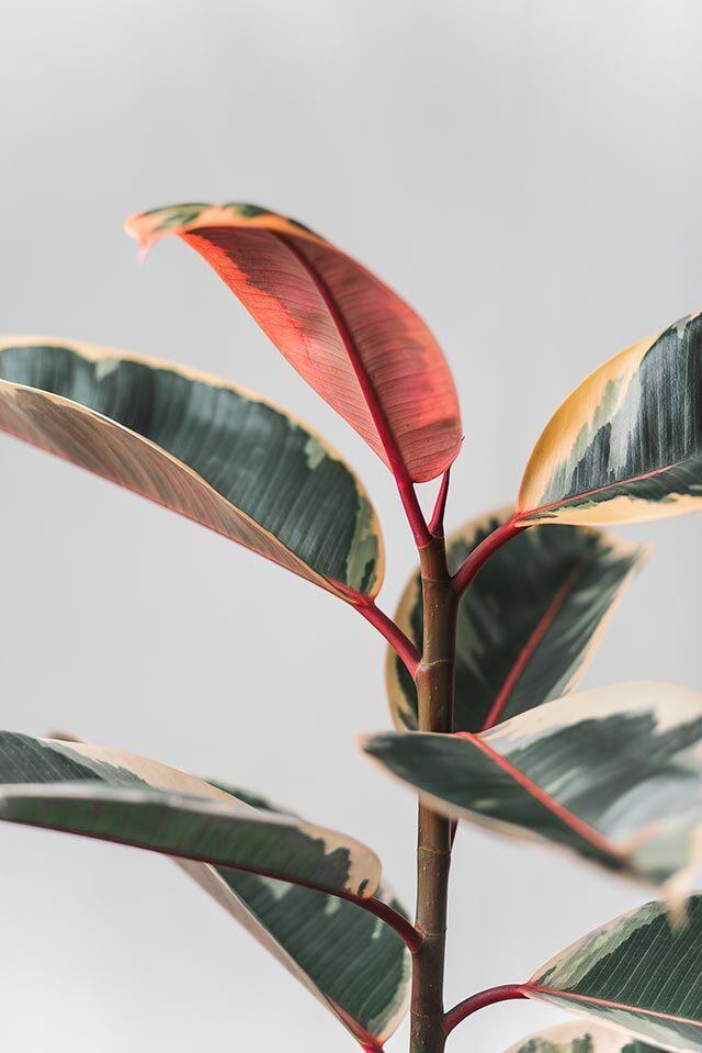 7 rubber plant 1595236893