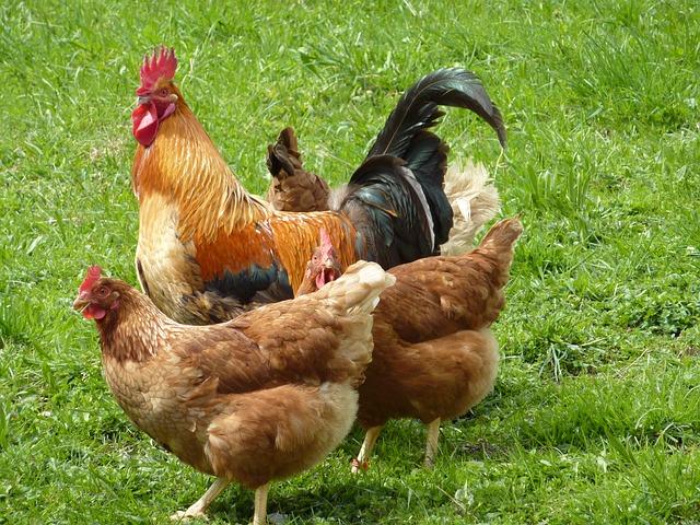 Pamora Farm Chickens