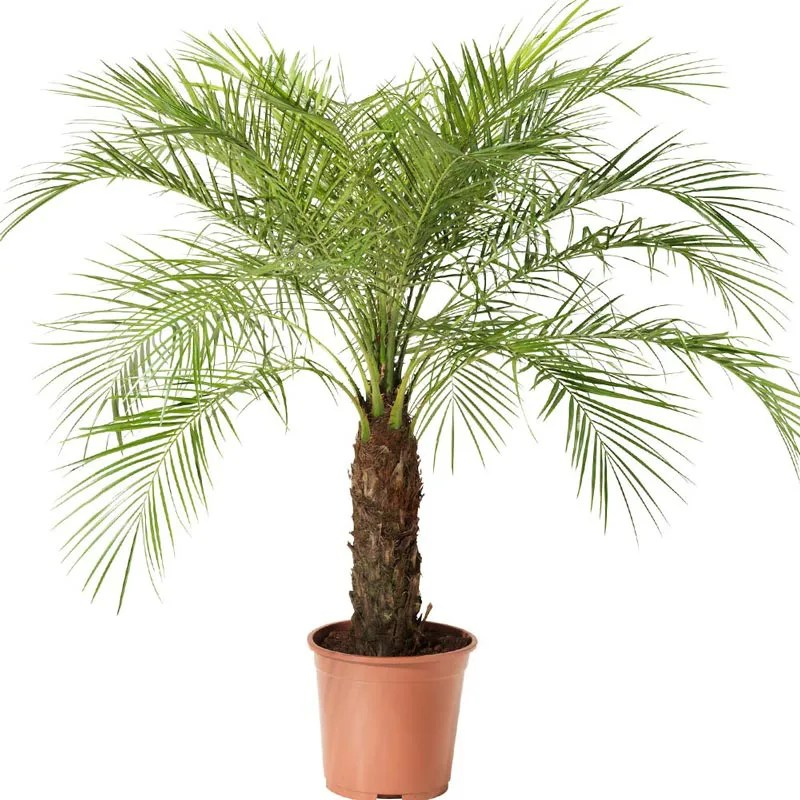 Resultado de imagem para palmeira fenix