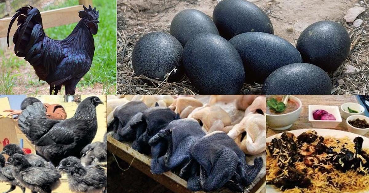 black-chicken