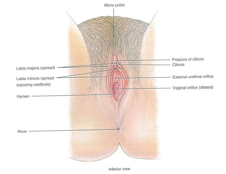 Klitoris kitzler Beste Kitzler